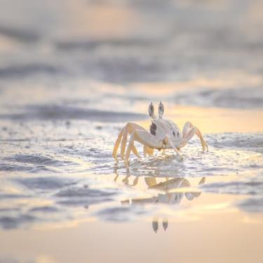 Wild Crab Chase Photo